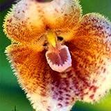 Generic Generisches Affe Gesicht Orchidee Samen Hausgarten Bonsai Blumen Samen Pflanzen-100 Teile/Paket