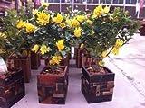 Vistaric 50 Samen/Beutel, Bergamotte-Samen, Familien-Topfpflanzen, goldene Buddha-Hand, Luft reinigen, Samen gelb-goldene Buddha-Hand