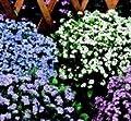 Vergissmeinnicht, Victoria-Mischung, 500 Samen von Nuts n' Cones - Du und dein Garten