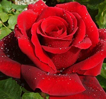 Shop Meeko Rosa Bush Rose Hybrid 'ROYAL WILLIAM' Royal Roses