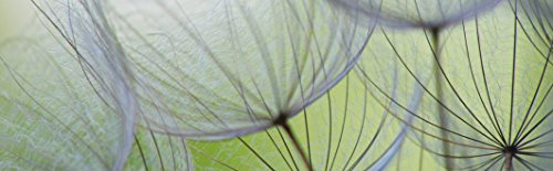 Artland Qualität I Glas Küchenrückwand ESG Spritzschutz Küche 180 x 56 cm Botanik Blumen Pusteblume Foto Grün F1GJ Pusteblumen-Samen