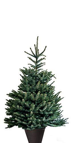 Silberfichte Blaufichte Picea Pungens 50-80cm Tanne Fichte Baum Bäume Weihnachtsbaum (90-120 cm) -
