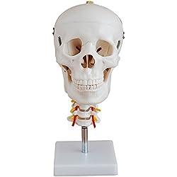 66Fit Human Skull con Columna Cervical Modelo anatómico, médica Enseñanza formación Ayuda