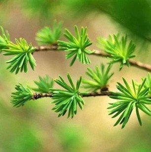 120pcs-lot-podocarpus-semi-dellalbero-yaccatree-albero-dei-semi-arbusti-sempreverdi-in-vaso-paesaggi