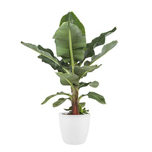 BOTANICLY | Plantas naturales con maceta blanca como un conjunto | Altura: 80 cm | Musa Dwarf cavendish