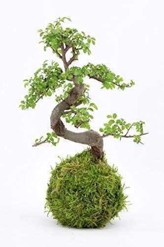 Bonsai tree - LIVE 8 year old Ch...