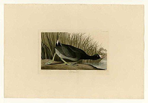 Das Museum Outlet-Audubon (- Amerikanisches Blässhuhn-Teller 239-Leinwanddruck Online (61x 45,7cm)
