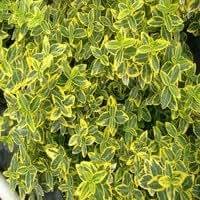 Euonymus fortunei 'Emerald 'n Gold' Liter 2 25-30 cm