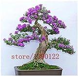 100pcs lila Weiße Flieder Samen, lila Nelke Samen, Bonsai-Blumensamen, Baumsamen, Topfpflanze für Heim & Garten