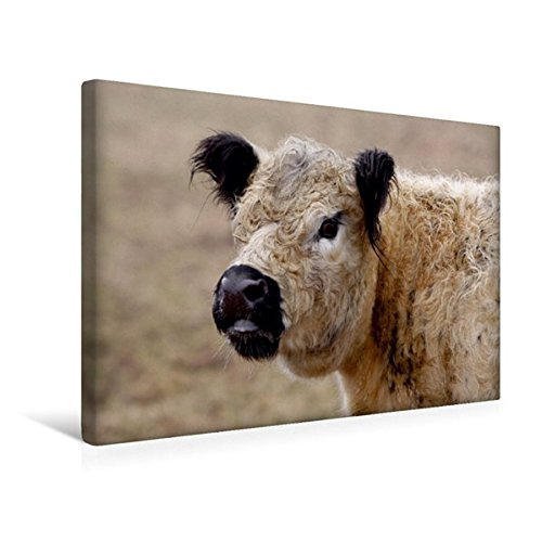 Premium Textile Toile 45cm x 30cm paysage de Galloway de vache, 45x30 cm