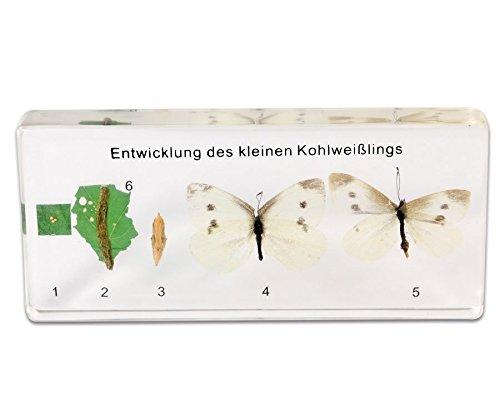 es Schmetterling, Entwicklungsstadien in Transparentem Kunstglasblock - Biologieunterricht Biologie Schule Lernen Lehrmittel Lernmittel Zoologie Metamorphose Unterricht (Raupe Und Schmetterling Kostüme)