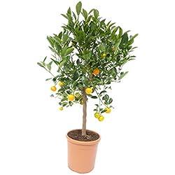 Calamondin Orangenbaum Citrus 80-90 cm Zitruspflanze