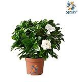 OjOrey Jasmine Natural Mogra Plant with Pot Indoor Flower Plant