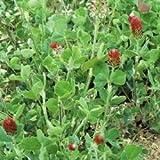 Green Manure - Crimson Clover - 500g Seeds