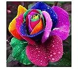 200 stücke Samen Regenbogen Rose m regenbogenfarben bunt