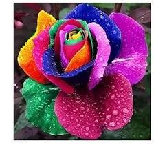 100 stücke Samen Regenbogen Rose m regenbogenfarben bunt