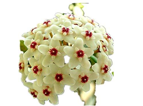 KINGDUO 20Pcs/Pack Hoya Semi In Vaso Seme Hoya Carnosa Fiore Seme Giardino Piante-01