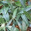 Pachypodium rosulatum seeds von CactusPlaza.com auf Du und dein Garten