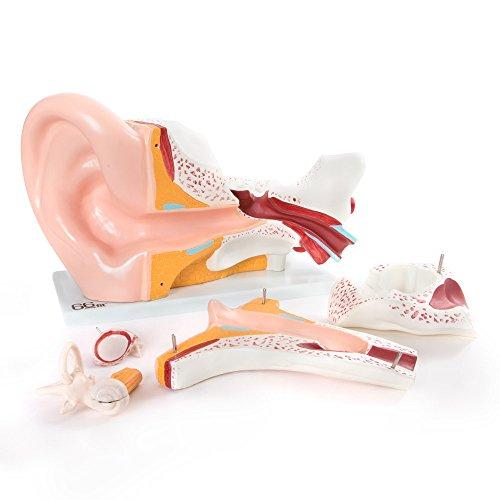 66fit Anatomisches Riesen Ohr Modell - medizinische Ausbildungshilfe - 4