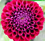 Shopmeeko Hot Vente Multicolore Dahlia Ampoules Superbe vivaces Dahlia bulbes de Fleurs bonsaï Plante DIY Home Garden: 7...