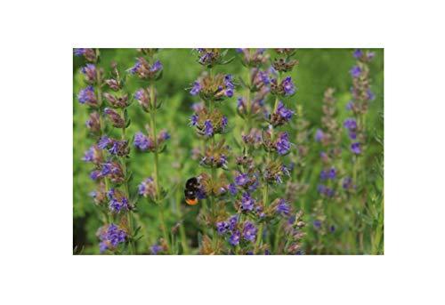 220x Ysop, Eisenkraut, Bienenkraut EKO - Ökologische Samen Pflanze K17