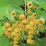 Qulista Samenhaus - 50pcs BIO Johannisbeere Werdavia Obst Saatgut (Hochstämmige) mehrjährig winterhart Exotik für Terrasse und Balkon