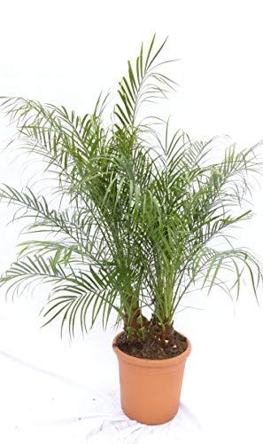 Phoenix Roebelenii Palme mehrstämmig, Zwergdattelpalme 90-120 cm