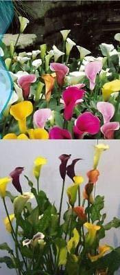 25x Calla Lilien Blumen Mix Samen Pflanze Rarität Saatgut Garten #113