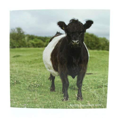 Belted Galloway Kuh Grußkarte mit Sound - Kuh Grußkarten