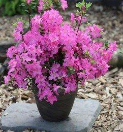 japanische-azalee-petticoatr-20-25cm-rhododendron-obtusum-zwerg-alpenrose
