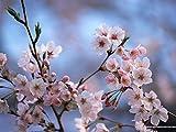 HONIC Rare Rosso Rosa Fiori di ciliegio Giapponese Cortile Giardino Bonsai Piccolo Albero Sakura Colori Misti 10 Pezzo