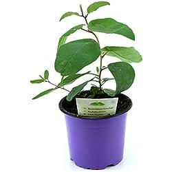 Zitroneneukalyptus, Eucalyptus citridora, Zitronen Eukalyptus Pflanze, Duftpflanze aus Nachhaltigem Anbau!