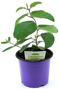 Zitroneneukalyptus, Eucalyptus citridora, Eukalyptus, Duftpflanze und Heilpflanze