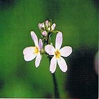 Dr Bach Water Violet Bach Flower Rem 10ml preisvergleich bei billige-tabletten.eu