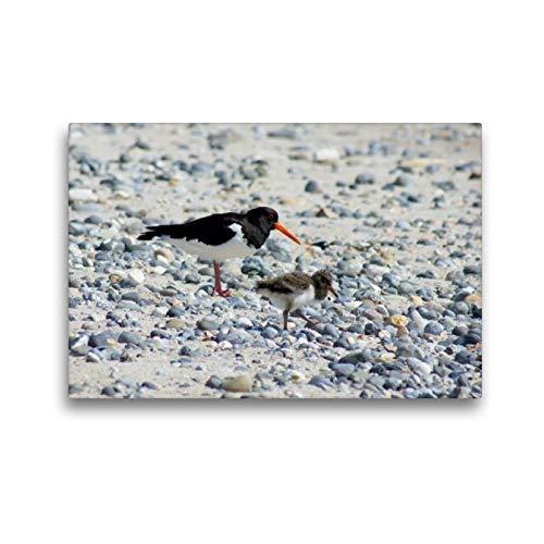 Calvendo Premium Textil-Leinwand 45 cm x 30 cm quer, Austernfische mit Küken   Wandbild, Bild auf Keilrahmen, Fertigbild auf echter Leinwand, Leinwanddruck: Insel Helgoland Natur Natur -