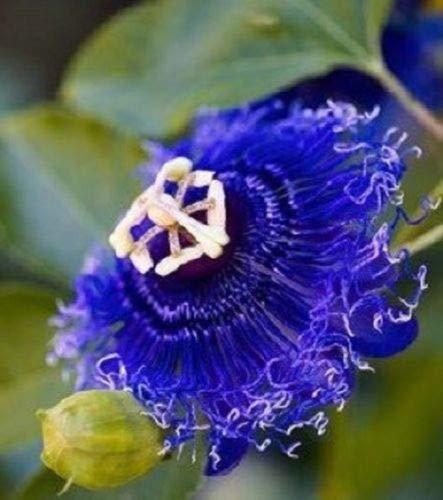 10 Rare Blue Passion Flower Graines Passiflora Tropical Jardin Exotique Escalade
