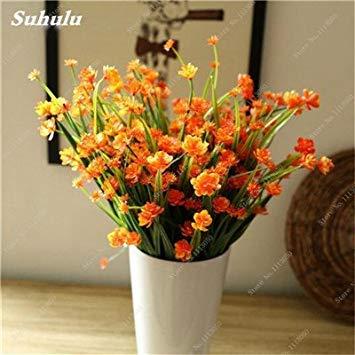 100 PC-Primrose Seeds Europa Primula malacoides Samen Seltene Blumensamen Mini Bonsai Pflanze für Office Desktop Zierpflanze 2