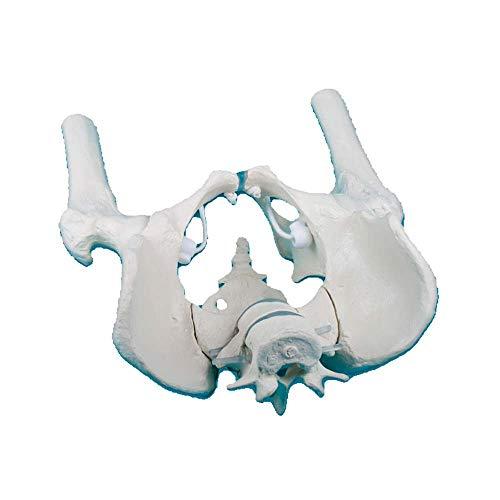 Erler Zimmer männliches Becken Anatomie Modell beweglich Kreuzbein Lendenwirbel Oberschenkelstümpfe