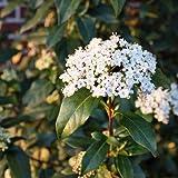 Lorbeer Schneeball - Viburnum tinus - Blütengehölz