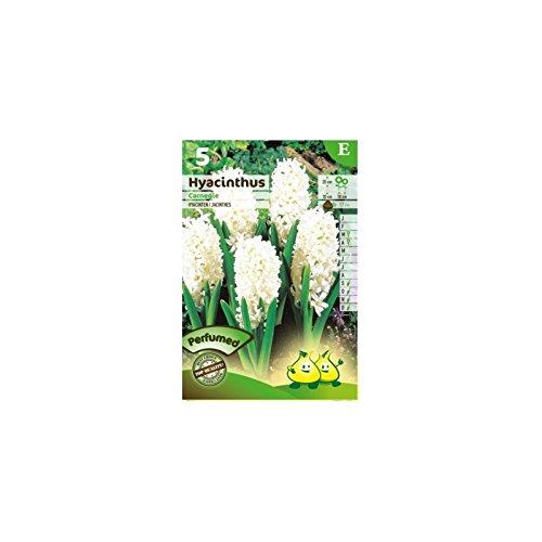 bulbe-jacinthe-carnegie-blanc-x5