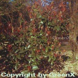 glanzmispel-red-robin-60-80cm-photinia-fraseri