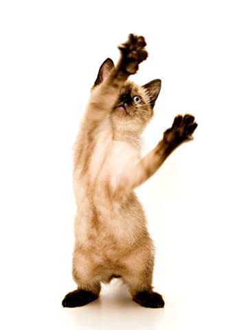 12 X 16 INCH / 30 X 40 CMS SIAMESE KITTEN CAT PLAYING PHOTO FINE ART PRINT POSTER AFFICHE HOME DECOR PICTURE BMP111B