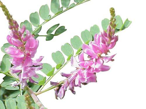 Indigopflanze -Indigofera tinctoria- 10 Samen Rar >Indigo<