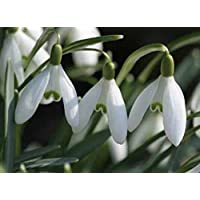 SPECIAL OFFER 100 Single snowdrops actively growing In the Green