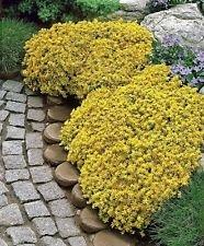 4000 Sedum Acre - Golden Tapis, couverture du sol jaune Orpin Fleur Seeds-