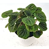 Sanjay Nursery Beautiful PEPEROMIA CAPERATA Green Color Plant (Pot Included) With Fertilizer & Plate Free