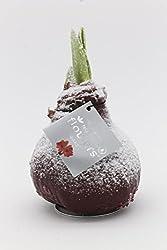 Gewachste Amaryllis, Zwiebel-umfang 32 - 34 Cm Rot, Rot Gefrostet, 1 Zwiebel