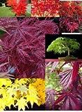 Japanischer Ahorn Sammlung, Fächerahorn Samen- 21 Samen, 7 Sorten