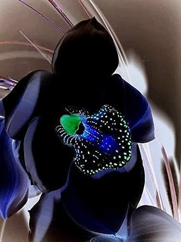 Portal Cool Kaufen, 3 2 Free Black Orchid Blumen-Samen 100 Stück Exotische seltene Orchidee