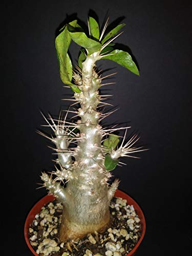 Generic Seeds: Pachypodium Lealii SSP saundersii Caudex exotische suculent